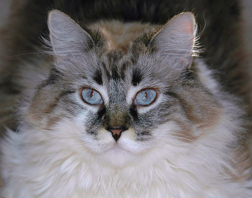 Siberian Cat Adoption Mississauga