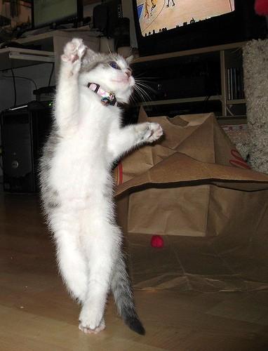 kittens for adoption chicago