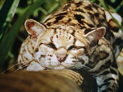 What Does A Margay Cat Look Like
