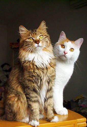 Fluffy Cat Family Portrait Photos Love Meow