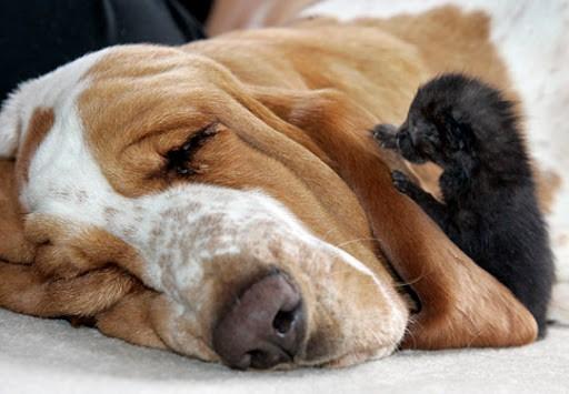 Basset Hound Nurses Kittens - Love Meow-6284