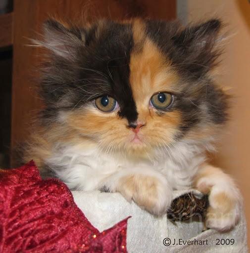 Persian Kitten Calico | www.pixshark.com - Images ...