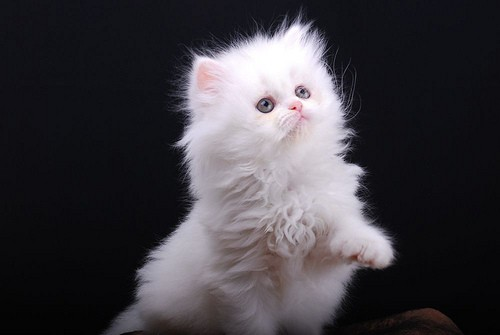 Ms White Kitten