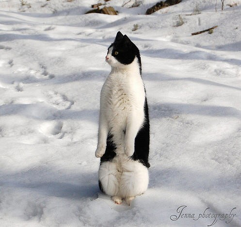 Image result for tuxedo cat in snow