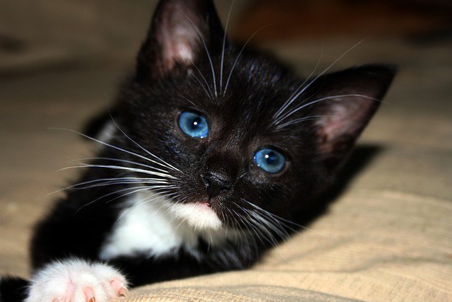 Black And White Cats With Blue Eyes Www Pixshark Com