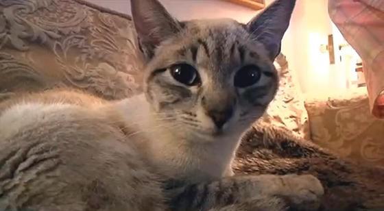 american bengal cat
