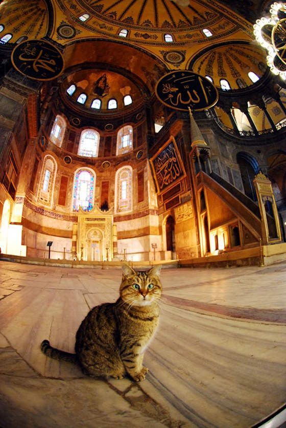 Loyal Cat Lives At The Hagia Sophia In Istanbul - Love Meow
