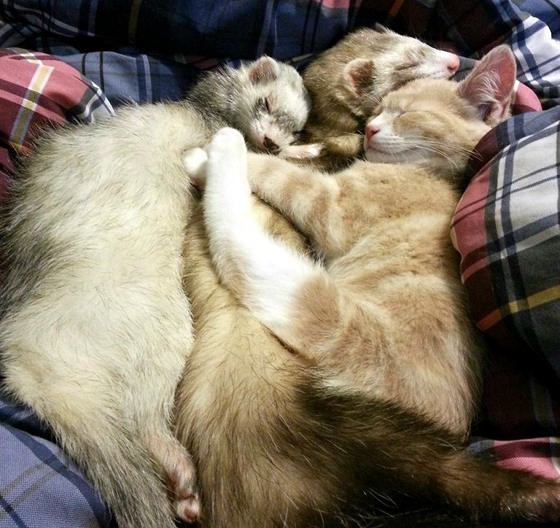 Kitten Loves His Ferrets Love Meow - Rescued kitten adopted by ferrets now thinks shes a ferret too