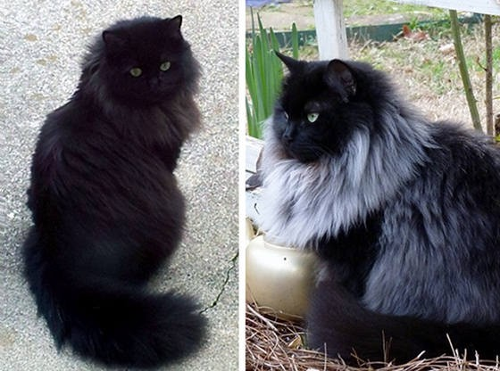 Black Cat Grows Magnificent White Winter Mane Love Meow