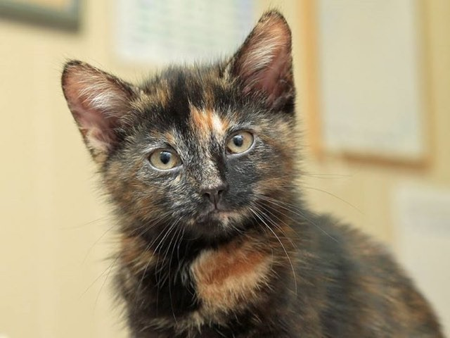 Of tortoiseshell cats are female and harry is a boy love meow - Images of tortoiseshell cats ...