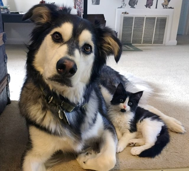 Louie The Tuxedo Cat And His Twin Milan The Husky Love Meow