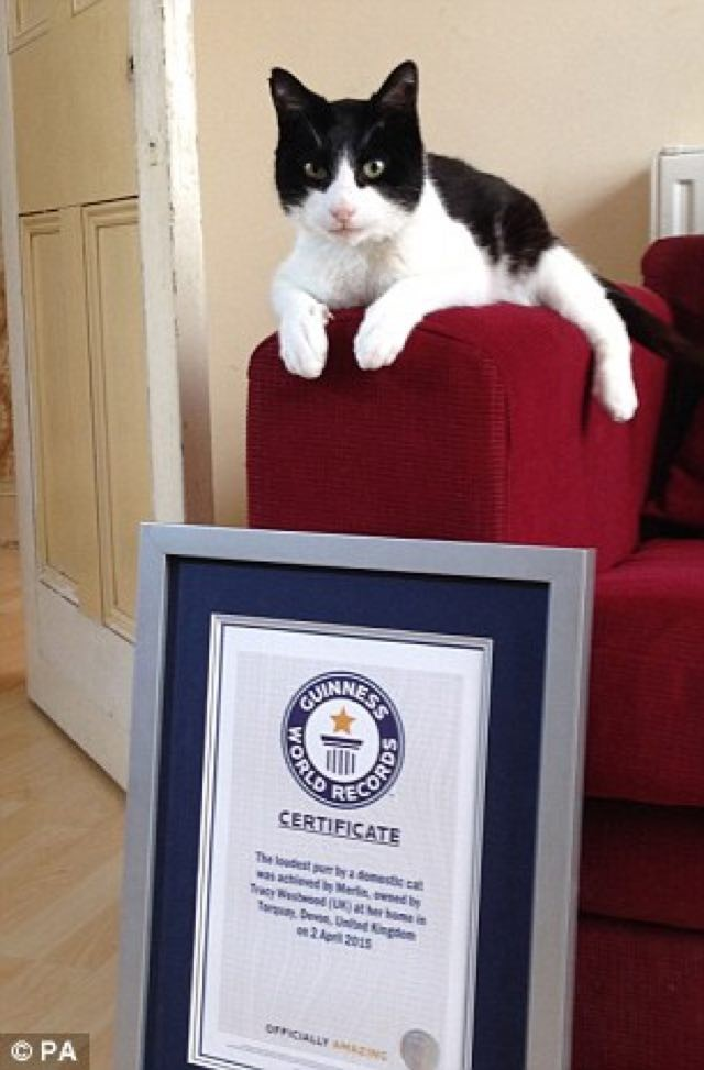 Smallest Cat In The World Guinness 2015 rescue cat merlin sets new world record for loudest purr! hear his