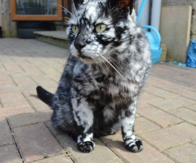 Black Cat With White Speckles