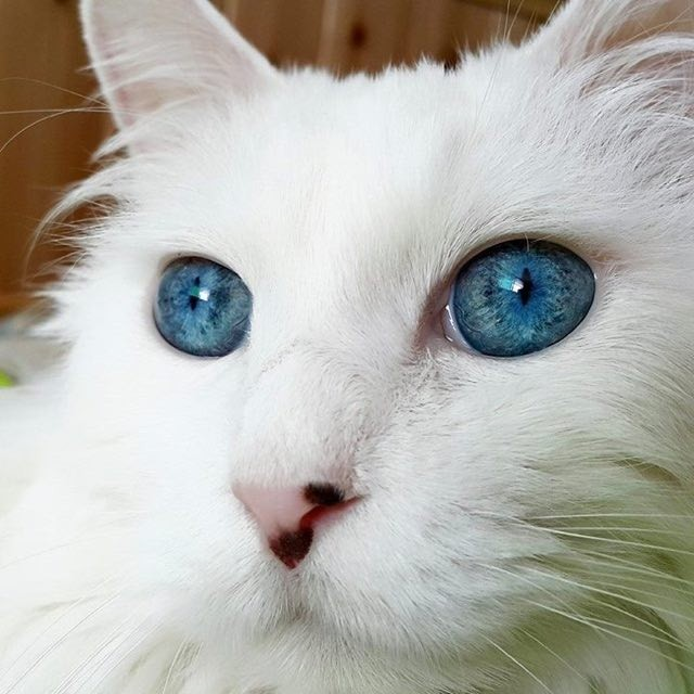 Stunning Cat With The Most Gorgeous Eyes I Ve Ever Seen