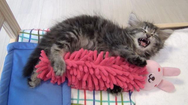 Cat Keeps Going After New Kitten