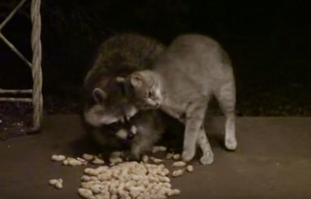 Can A Raccoon Be Friends With A Cat