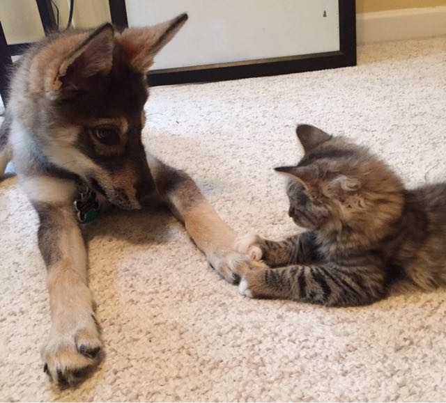 what they get when they let their puppy pick out a kitten love meow