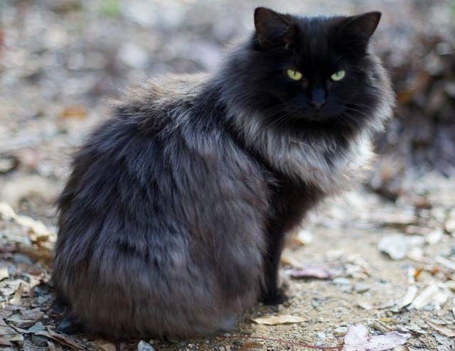 Long Furred Black Cat With White Paws