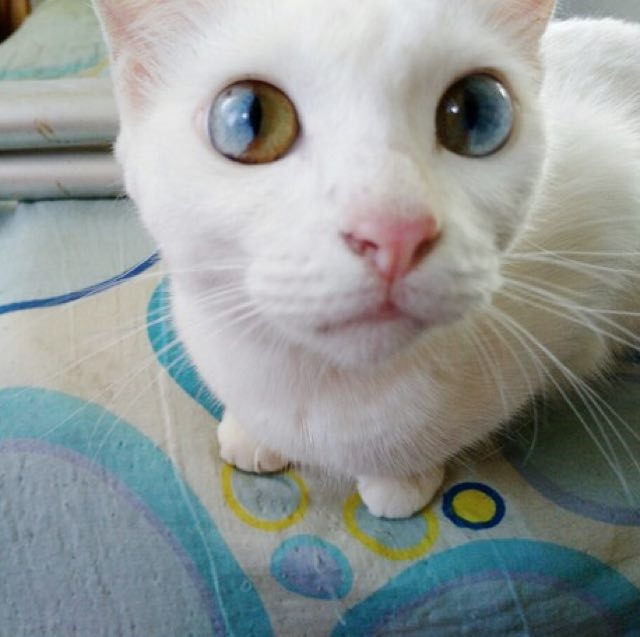 This Cat Has The Most Beautiful And Magical Eyes Love Meow - This cat has the most amazing multi coloured eyes ever