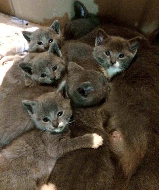 mackerel tabby cat breeds