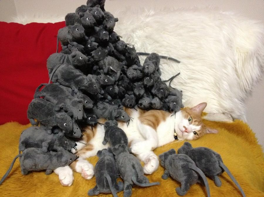 napping cat suddenly finds himself surrounded by     rats