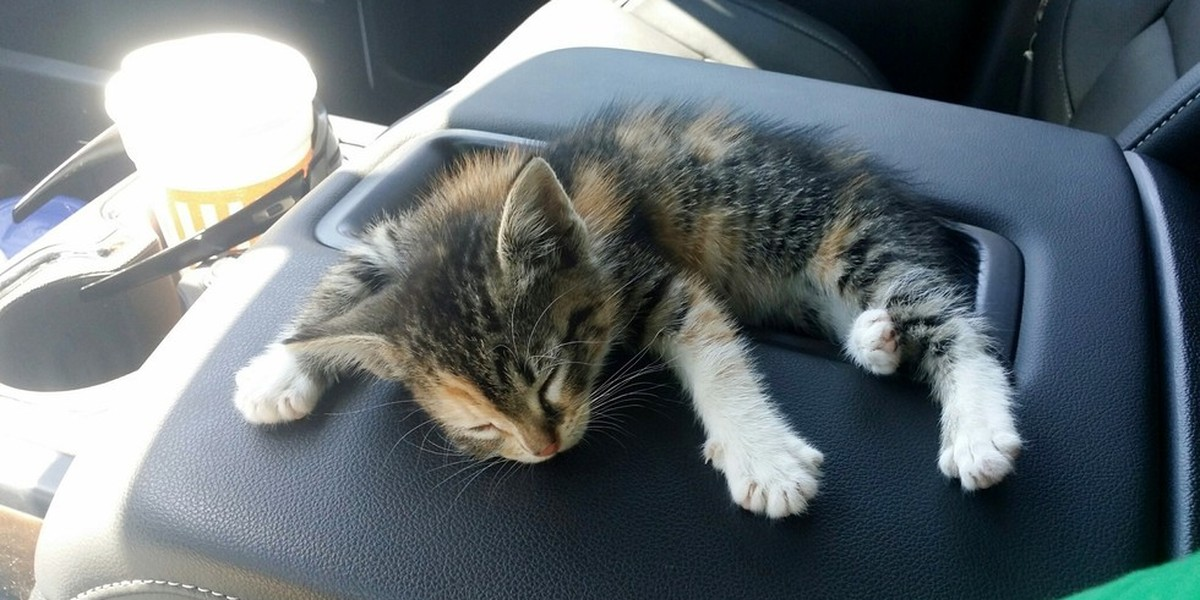 Homeless Kitten Fell Asleep in Her Rescuer's Truck, He Didn't Have the Heart to Wake Her