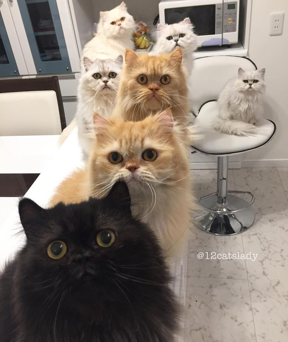 12 persian cats begging for breakfast food
