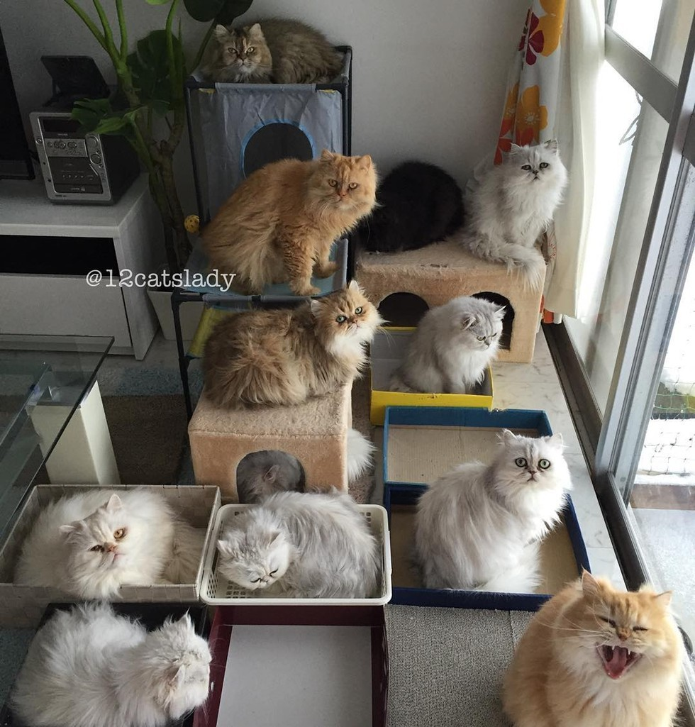 12 persian cats