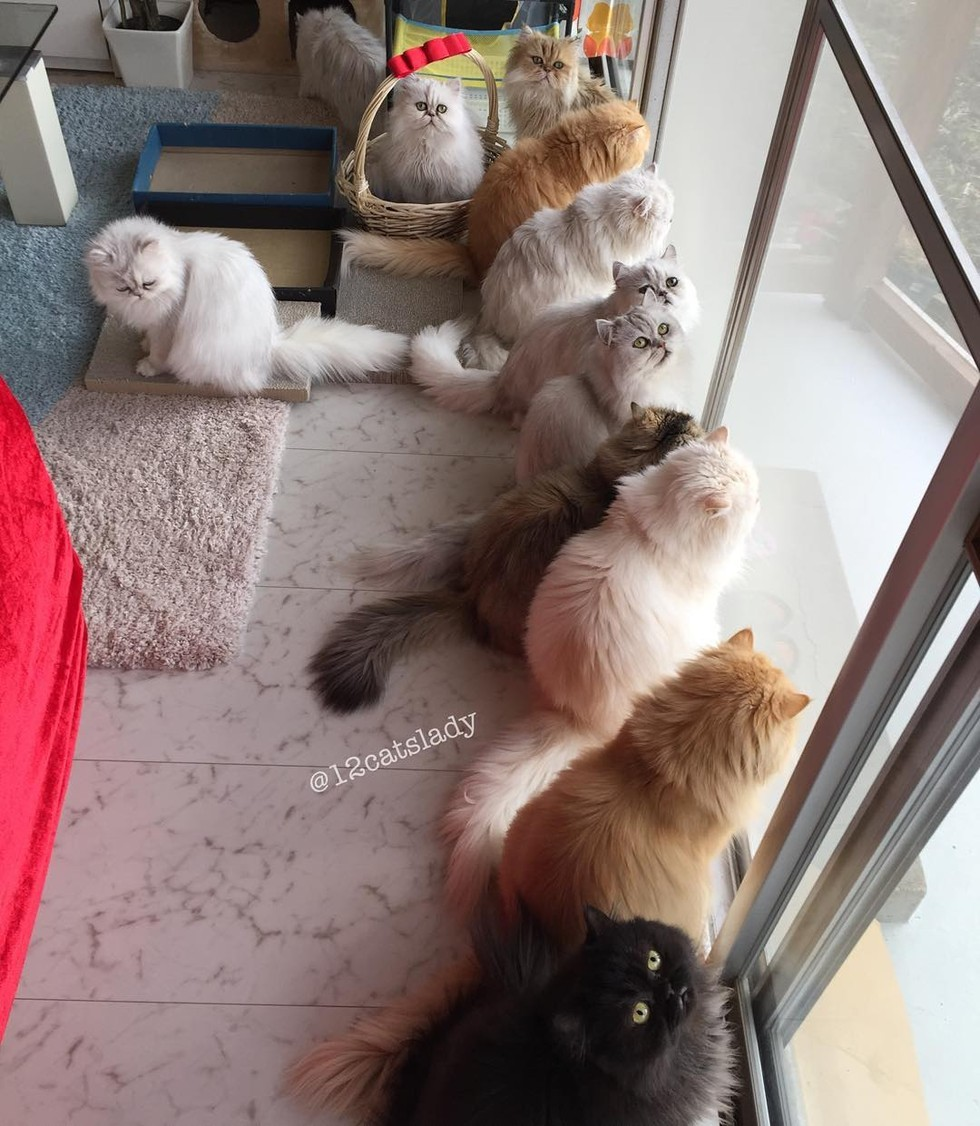 12 persian cats watching bird tv