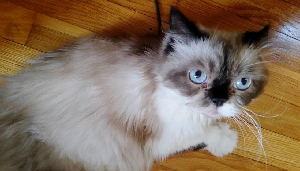 rescue himalayan cat difference in 3 months