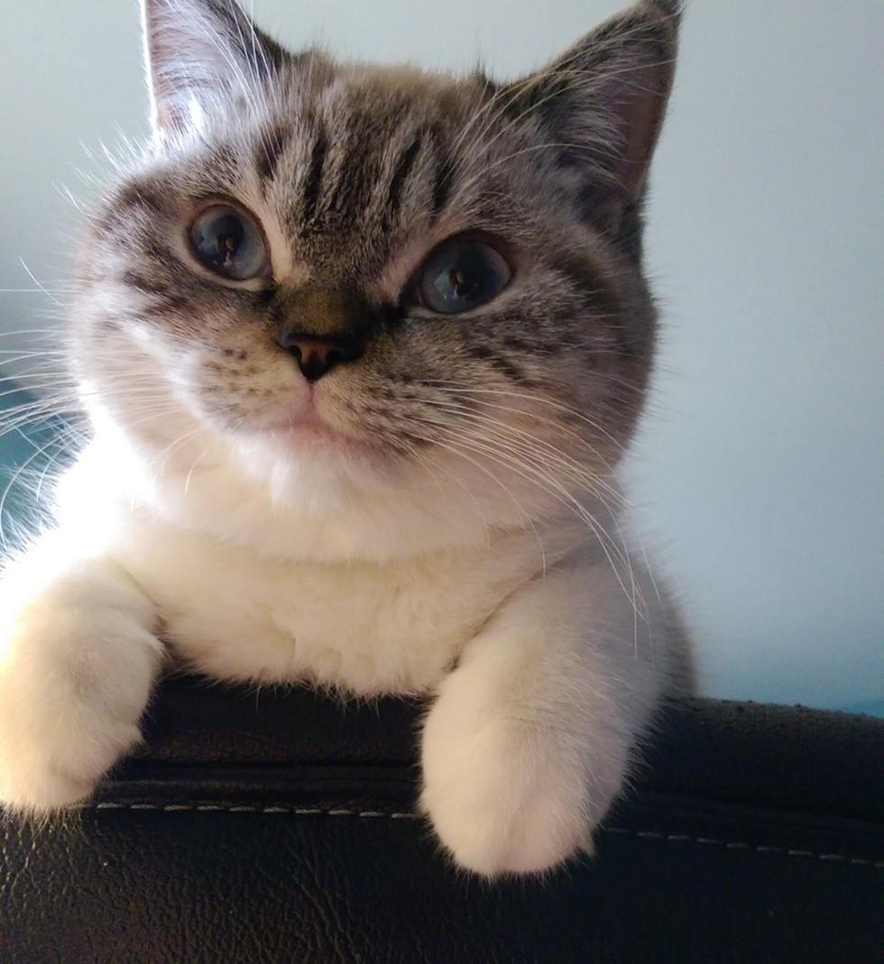 scuba the funny british shorthair cat