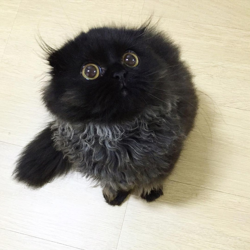 fluffy kitten big eyes owl cat