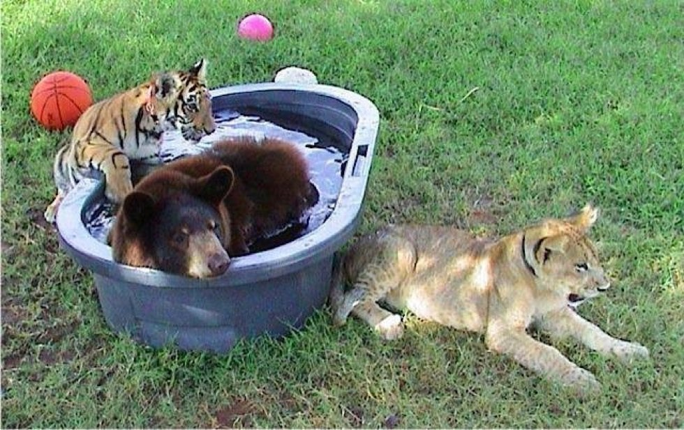 rescued tiger, bear, lion living together 15 years