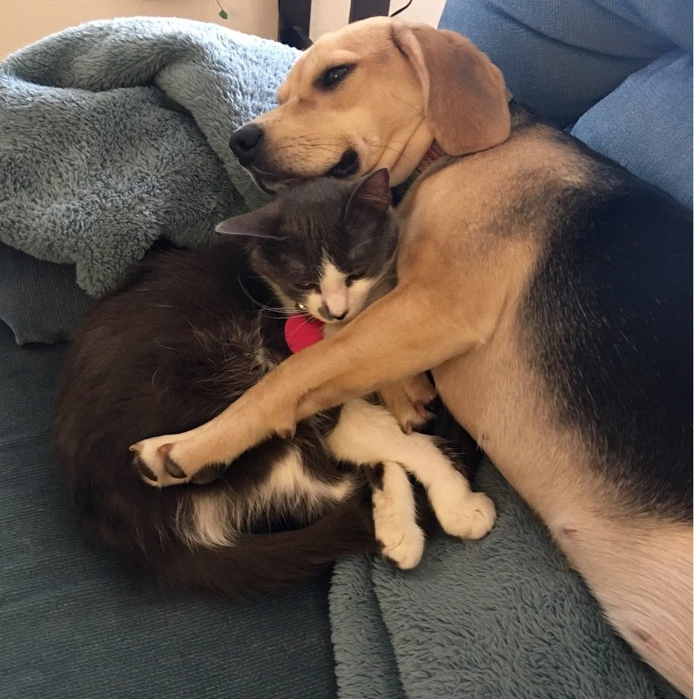 cat and beagle dog snuggling