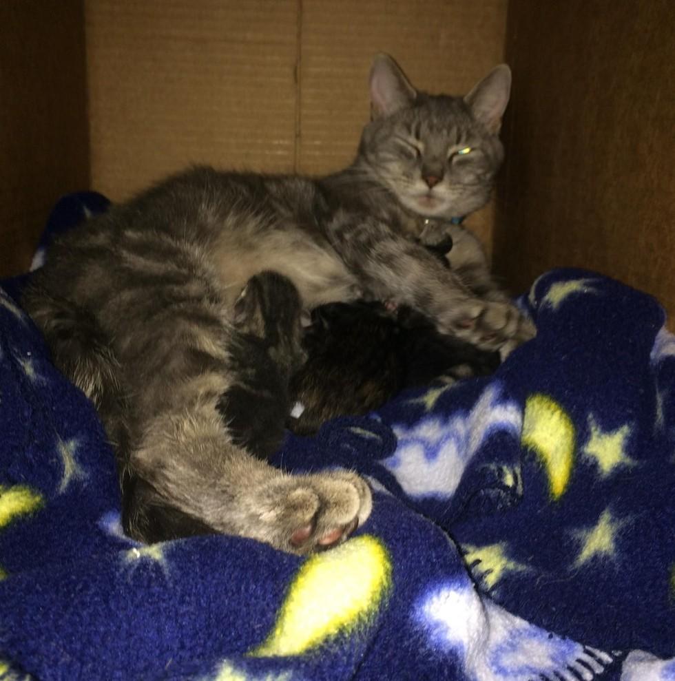 cat mama caring for newborn kittens