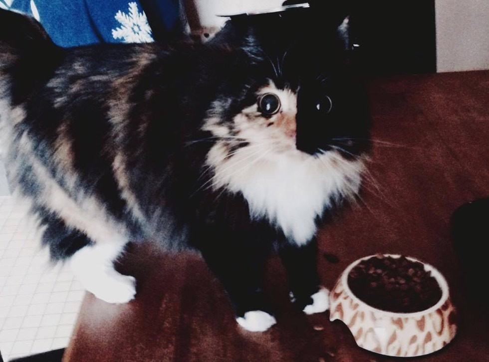 blind rescue calico cat jasmine forever home