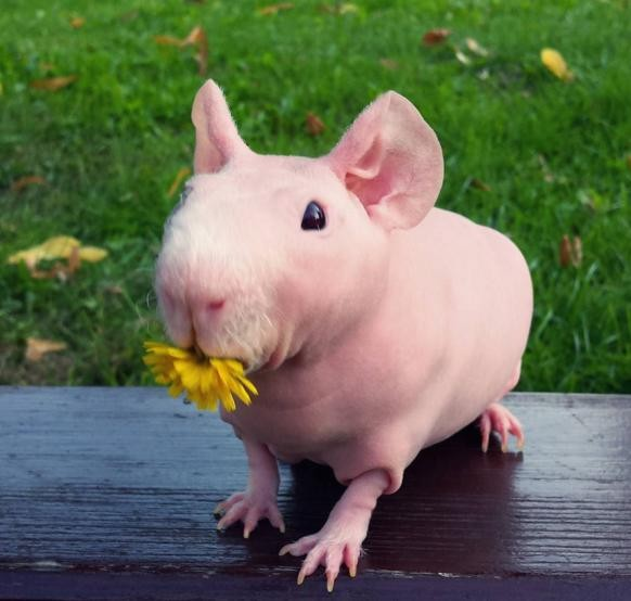 Naked Guinea Pig Poses With All His Favorite Foods