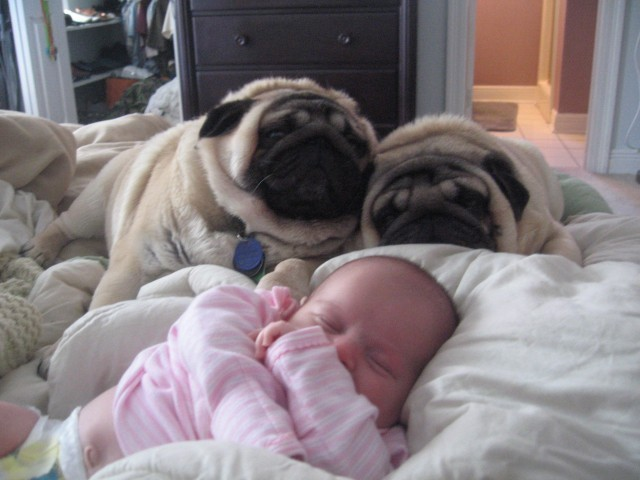 9 Pictures That Prove Babies And Pugs Are An Absurdly