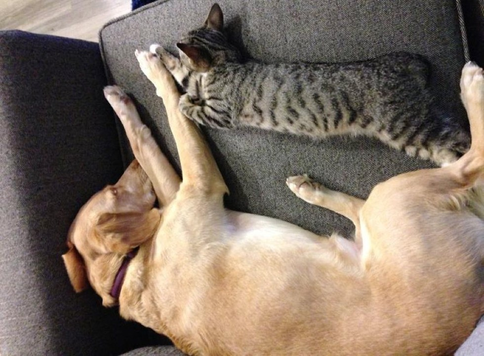 adopted kitten finds new mom dog
