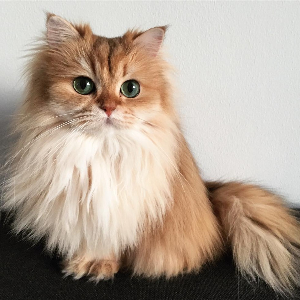 Cat That Looks Like A Fox This Magnificent...