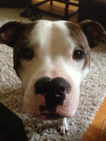 12 Pit Bull Mixes Who Are Just As Ridiculously Cute As Rami
