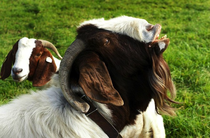 Male Goat Smell Puts Females in Sexual Swoon - Seeker