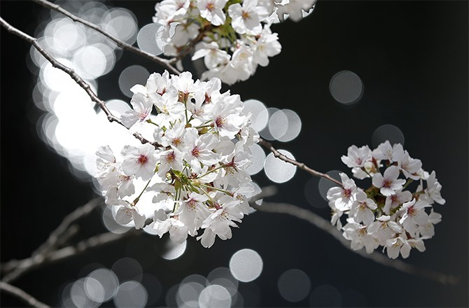 how to grow cherry blossom from seed