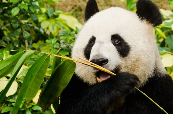 laws on the giant panda Today, the zoo's three giant panda residents are on loan from the chinese government in exchange for cooperative research projects between conservationists from each country (and the annual fee.