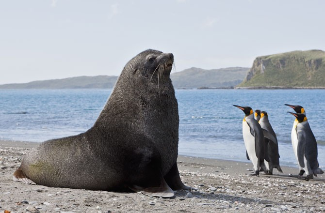 Fur Seal Sex With Penguin Why Does It Happen - Seeker-7227