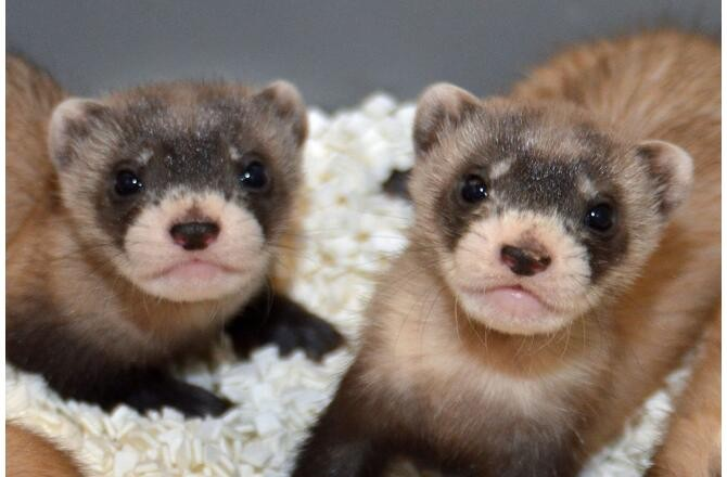 an introduction to the ferrets and their endangerment Rabies 2-8-2017 tonights most compelling american soccer match was a little tricky to find summary: these new york statutes comprise the state's dog laws among the.