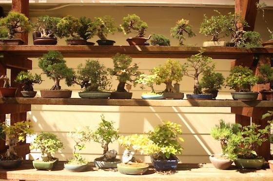 Tiny Trees Deep Roots The History Of Bonsai In The Bay Area 7x7 Bay Area