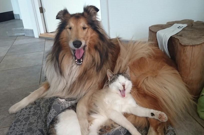 toy kitten breeds