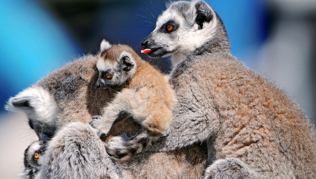Pregnant Lemurs Smell Gives Away Sex Of The Baby-7896