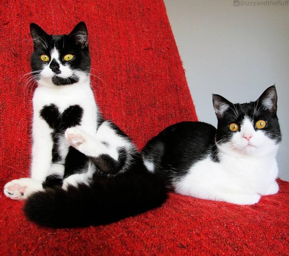 Kucing Lucu Dengan Dada Terdapat Gambar Cinta TheProject